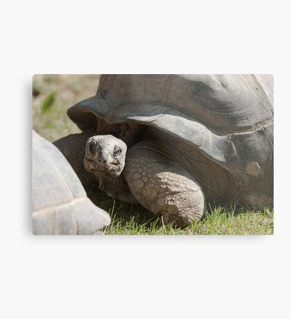 tortoise at zoo Metal Print