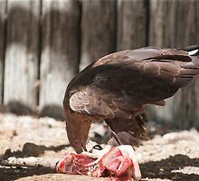 bird of prey that eat meat by spetenfia