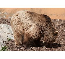 bear in the zoo Photographic Print