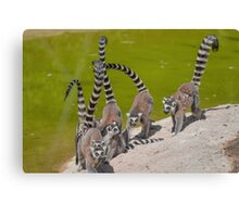 lemur at the zoo Canvas Print