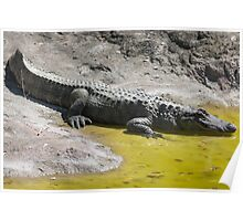 crocodile at the zoo Poster