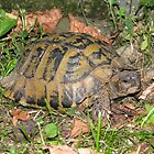 A Conversation with an Eastern Hermann's Tortoise by Dennis Melling