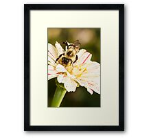 Bumble Bee Collecting Pollen Framed Print