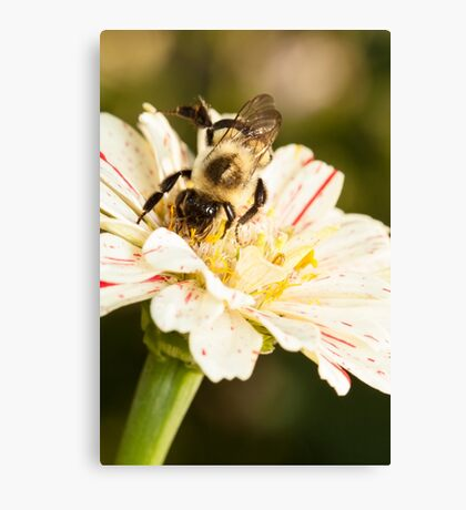 Bumble Bee Collecting Pollen Canvas Print