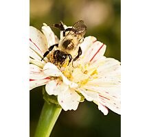 Bumble Bee Collecting Pollen Photographic Print