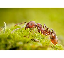 Red Worker Ant On Green Moss Photographic Print