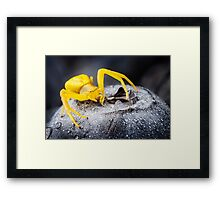 Yellow Crab Spider On Blueberry Framed Print