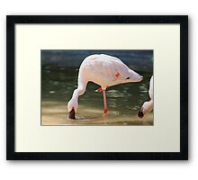 flamingo Framed Print