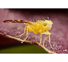 Yellow Fruit Fly On Purple Leaf Photographic Print