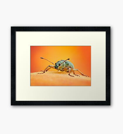 Green Immigrant Leaf Weevil on Peach Framed Print