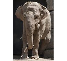 elephant at the zoo Photographic Print