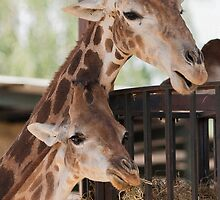 giraffe at the zoo by spetenfia