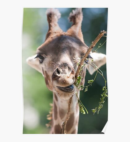 giraffe at the zoo Poster