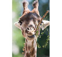 giraffe at the zoo Photographic Print
