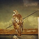 Juvenile Red Tail Hawk by swaby