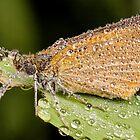 Dew Covered Skipper Butterfly by Dan Dexter