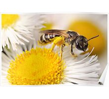 Sweat Bee Collecting Pollen Poster