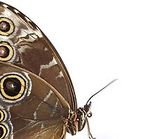 Owl Eye Butterfly Macro by Dan Dexter