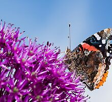 Red Admiral Butterfly on Allium Flower by Dan Dexter