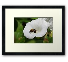 Bee on a Convolvulus Flower Framed Print