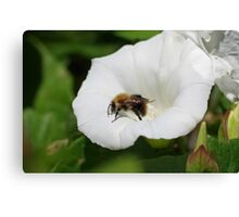 Bee on a Convolvulus Flower at Gwithian Nature Reserve in Cornwall. Canvas Print