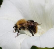 Bee on a Convolvulus Flower at Gwithian Nature Reserve in Cornwall. Sticker