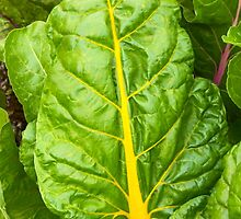 Colorful Swiss Chard by Kenneth Keifer