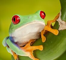 Red Eyed Tree Frog by Dan Dexter