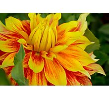 Flame Thrower Dahlia Photographic Print