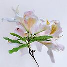 White Exbury Azalea Bloom by LouiseK