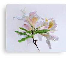 White Exbury Azalea Bloom Canvas Print