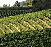 Vineyard by Kasia-D