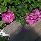 Roses along the Way by Barry Doherty
