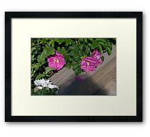 Roses along the Way Framed Print