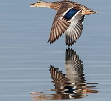 Mallard hen flying by by Eivor Kuchta