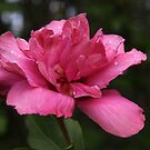 Double Petalled Pink Rose of Sharon by Linda  Makiej