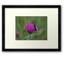 Bee and Burnet Moth on a Common Knapweed Flower at Gwithian Nature Reserve in Cornwall. Framed Print