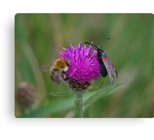 Bee and Burnet Moth on a Common Knapweed Flower at Gwithian Nature Reserve in Cornwall. Canvas Print