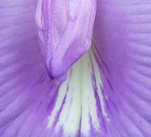 Clitoria mariana Sticker