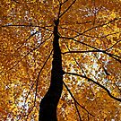 Fall Canopy by Terri~Lynn Bealle