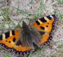 Small Tortoiseshell Butterfly at Gwithian Nature Reserve in Cornwall. Sticker