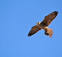 Greater Kestrel - Macky's African Wings by LivingWild