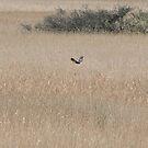 Marsh Harrier Over Marsh by CreativeEm