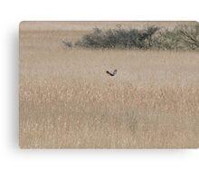 Marsh Harrier Over Marsh Canvas Print