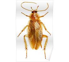 Cockroach on white Background  Poster