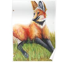 Resting Maned Wolf Poster