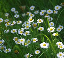 Daisies Are Our Silver .... by lezvee