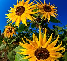 Sunflowers by RandyHume