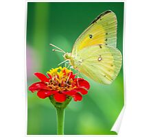 Butterfly on Red Poster