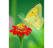 Butterfly on Red Photographic Print